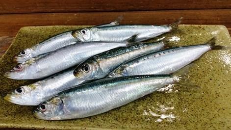 いわし魚470.jpg