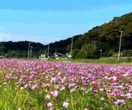 kosumosu1.jpg